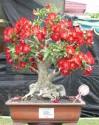 ♣ 100 x sazenice Adenium Obesum vel. 10-12 cm