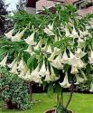 ♣ 100 x semena Brugmansia arborea stromová - Andělská trumpeta Zvýhodněná nabídka