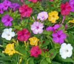 ♣ 100 x semena Mirabilis Jalapa Nocenka mix barev Zvýhodněná nabídka