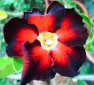 Adenium Obesum Black fire  Balení obsahuje 5 semen