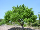 Ceratonia Siliqua - Svatojánský chléb  Balení obsahuje 5 semen