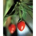 Chilli Chiltepin  Balení obsahuje 10 semen