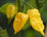 Chilli Habanero Limon Balení obsahuje 10 semen