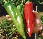 Chilli Big Jim  Balení obsahuje 10 semen