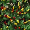 Chilli Tabasco  Balení obsahuje 10 semen