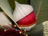 Eucalyptus Macrocarpa - Blahovičník velkoplodý Balení obsahuje 5 semen