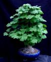 Sazenice Gingko Biloba   velikost 15-20 cm