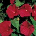 Ipomoea Scarlet O Hara   Balení obsahuje 10 semen