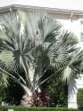 naklíčené semeno Latania loddigesii - Modrá palma o