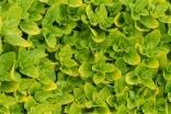 Majoránka zahradní  - Organum Majorana Balení obsahuje cca 500 semen