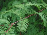 Metasequoia Glyptostroboides (metasekvoj čínská) Balení obsahuje 15 semen
