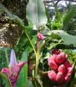 Banánovník Musa Velutina Balení obsahuje 5 semen
