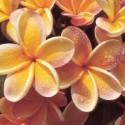 ♣ 30 x semena Plumeria Frangipani Pinwheel   Zvýhodněná nabídka