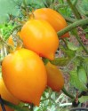 Rajče Citrina  Balení obsahuje 20 semen