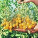 Rajče Ildi  Balení obsahuje 20 semen