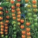 Rajče Small Cherry Balení obsahuje 10 semen