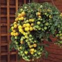 Rajče Tumbling Tom Yellow  převislé truhlíkové  Balení obsahuje 20 semen