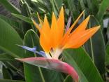 1 naklíčené semeno Strelitzia  Reginae -